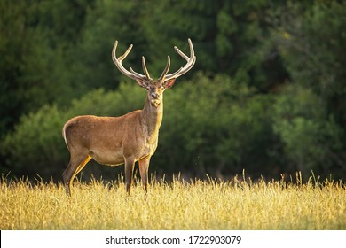 Sunlit red deer, cervus elaphus, stag with new antlers growing facing camera in summer nature. Alert herbivore from side view with copy space. Wild animal with brown fur observing on hay field.