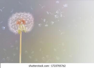 süßes und zartes Bild einer Löwenzahnblume, die vom Wind gestreichelt wird