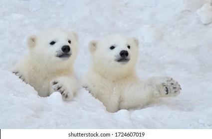 Zwei weiße Eisbärenjungen schauen aus einem Schneeloch.