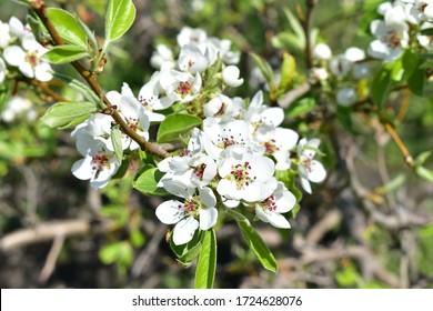 ミツバチと春の梨の木の花