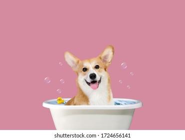 Welsh Corgi art. Happy Corgi in the bathroom. Funny portrait of a welsh corgi pembroke dog showering with shampoo. Dog taking a bubble bath in grooming salon.