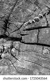 Textur eines alten rissigen Baumes. Altes Holz zersägt. Holzbeschaffenheit für Hintergrund. Einfarbig.