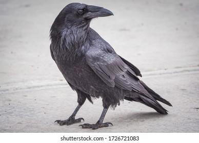 Un cuervo común en busca de comida.