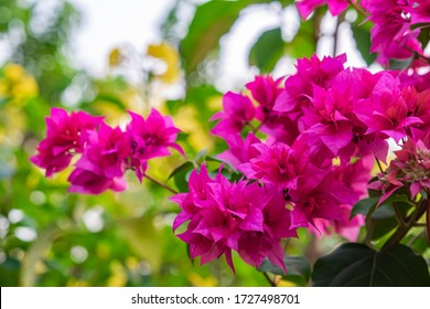 Blooming bougainvillea  Bouquet on tree.Magenta flowers.Bougainvillea flowers as a background.Floral background.