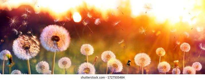 Löwenzahnfeld mit fliegenden Samen bei Sonnenuntergang