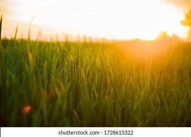 Sol de verano brillando sobre el paisaje agrícola del campo de trigo verde. Trigo verde joven en el tiempo del amanecer del atardecer. Mes de junio.