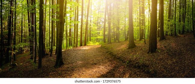 Waldbäume mit Bürgersteig von abgefallenen Blättern. Schönes Sonnenlicht der Naturgrünholzhintergründe.