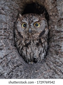 Center of Attention - A Western Screech-Owl peers from the center of an oak cavity before heading out on a nocturnal hunt.