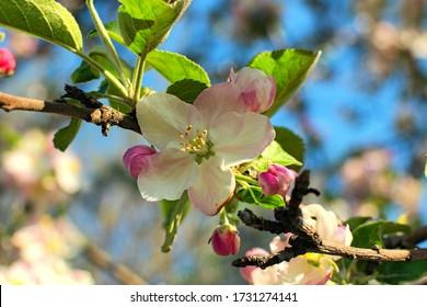 Nahaufnahme der erstaunlichen Apfelbaumblüten während des Sonnenaufgangs. Verschwommene Zweige gegen blauen Himmel im Hintergrund. Abstraktes Frühlingskonzept. Frühling in der Ukraine.