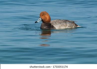 男性の赤毛が開いた青い海で泳いでいます。リードヘッドダックまたはポチャードとも呼ばれます。サミュエルスミスパーク大佐、トロント、オンタリオ、カナダ。