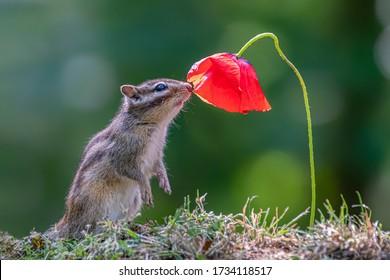 花の匂いがするかわいいリス。花を楽しむ小さなシマリス(Eutamiassibiricus)。美しい赤い花とジリス。シマリスは花が大好きです。