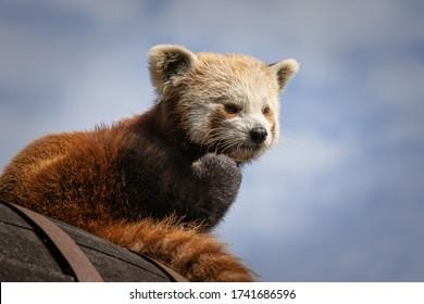 レッサーパンダのクローズアップ写真