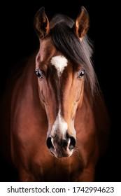 黒の背景にスタジオライトで作られた顔に白い斑点がある茶色の馬の正面の肖像画