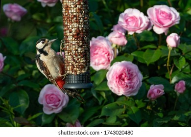 Adult greater spotted woodpecker on a bird feeder with softly faded pink roses in the background