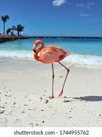 Orange Flamingo in Aruba, Karibik