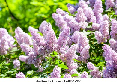 Lilac flowers bush in summer. Lilac flowers bush branches