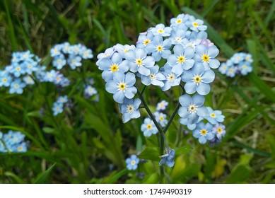Blau vergiss mich nicht Blumen blühen auf grünem Hintergrund (Vergissmeinnicht, Myosotis sylvatica, Myosotis scorpioides). Frühlingsblütenhintergrund. Nahaufnahme, zurückhaltend