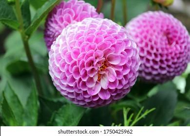 Hermosa flor rosa dalia de cerca foto en la naturaleza con un fondo verde dalia fermain flor de cerca aislado dalia brillante único pompón natural híbrido dalia Franz Kafka brote rosa bola macro