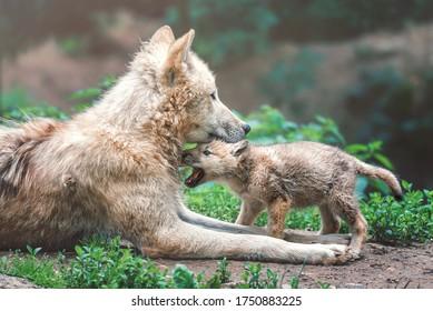 Arctische wolf (Canis lupus tundrarum) famale met pup