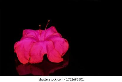 Marvel-of-Peru oder Marvel of Peru Blume auf schwarzem Hintergrund, rosa Blume auf schwarz.