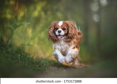 Cute cavalier king charles spaniel joyfully running along the path against the backdrop of a summer sunset forest