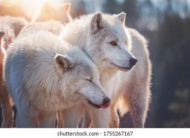 Arctische wolf (Canis lupus tundrarum) mooi dier in het bos