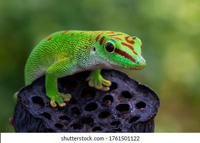 Riesentaggecko der schönen Farbe Madagaskar auf trockener Knospe, Tiernahaufnahme