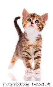 Retrato de un gatito mirando hacia arriba sobre un fondo blanco. Disparar a los gatitos callejeros en el estudio para encontrarles una vivienda.