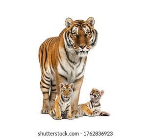 Tigre y sus cachorros de pie delante, fondo blanco.