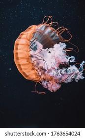 White and orange jellyfish dansing in the dark blue ocean water