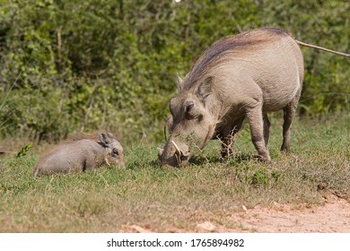 Warthog adulto con niño de pie y comiendo hierba a lo largo del borde de un camino de ripio en un parque nacional
