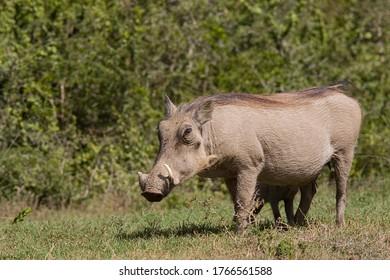 Warthog adulto de pie y comiendo hierba a lo largo del borde de un camino de ripio en un parque nacional