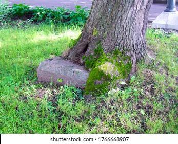 Ein Baum wächst direkt auf einer Granitplatte im Kloster Trinity-Sergius in Strelna. Vitalität, Lebensdurst, Hartnäckigkeit, Ausdauer, Ausdauer, Sturheit, Hartnäckigkeit, Beharrlichkeitskonzept