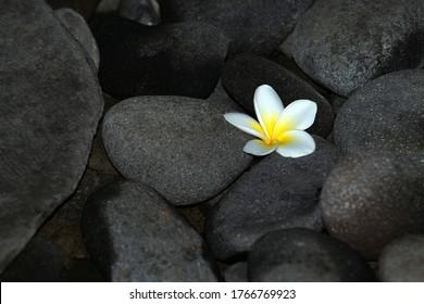 Eine schöne Frangipani-Blume fällt zwischen natürliche Felsen.