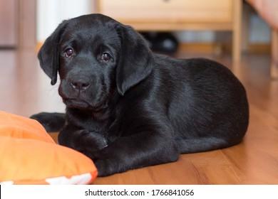 黒のラブラドール子犬はオレンジ色のマットの上に床に横たわっています
