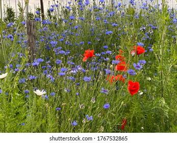 Wild poppies and summer cornflowers