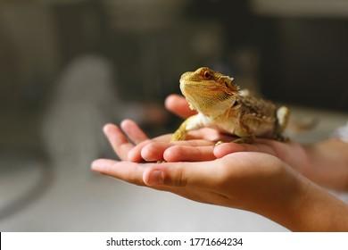 Eine Sandeidechse sitzt in den Händen des Besitzers, ein Reptil mit scharfen Stacheln und braunen Schuppen, ein zu Hause aufziehender Drache, ein Amphibienhaustier