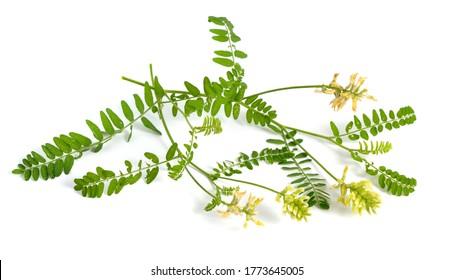 Astragalus glycyphyllos o regaliz milkvetch, regaliz silvestre, regaliz silvestre. Aislado.