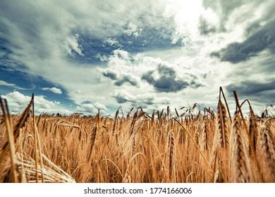 熟したライ麦と青い夏の空のフィールドと美しい風景。