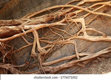 Baumwurzeln wachsen über einer Felsplatte und etwas freiliegendem Boden und bilden wunderschöne Muster über dem Boden.