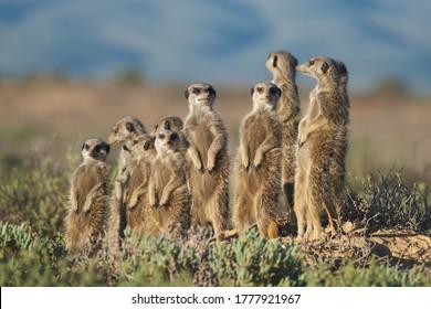 Familia de suricatas en Sudáfrica