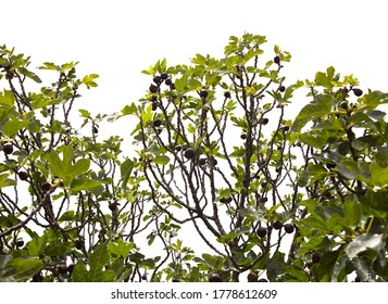 Agriculture of Gran Canaria - fig tree branches full of ripe and ripening fruit