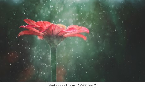 Rote Zinnienblume im Sommerregen- und Sonnenlichtfahne auf grünem Hintergrund. Rote Zinnienblume im nebligen Garten im Sonnenlicht und im Regenwasser. Rote Blume mit Wassertropfen, Sonnenlicht, Nebel als märchenhafter Hintergrund