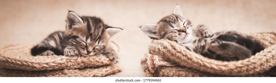 Tabby kittens cute sleeping in a wicker basket.