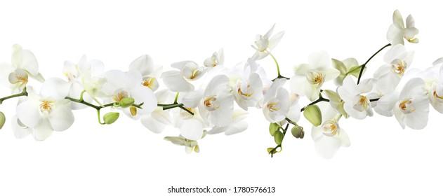 Rama de hermosa orquídea sobre fondo blanco. Diseño de banner