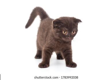 Gatito Scottish Fold negro sobre un fondo blanco.