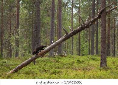Wolverine climbing on a dead tree in Finnish taiga forest