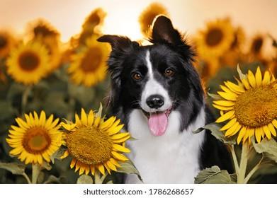 Head portrait of border collie in sunflowers field