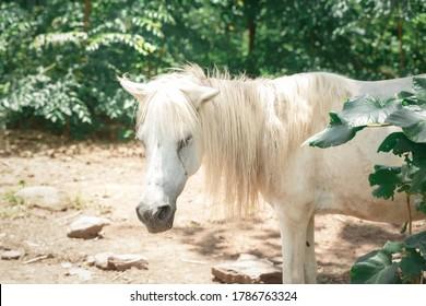 地面に干し草のある農場に立っている金髪のたてがみを持つ白いポニー