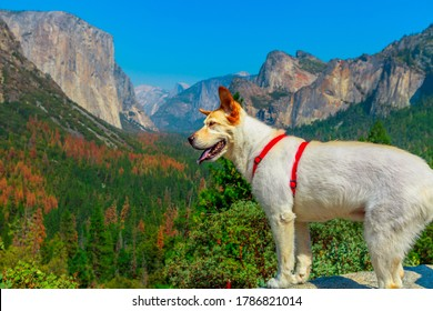 white dog looking the panorama at El Capitan Tunnel View overlook in Yosemite National Park, California, United States. Half Dome and Bridalveil Fall from the iconic Tunnel View. American holidays.